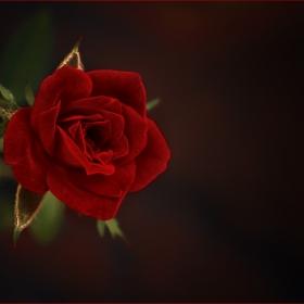 една червена роза....