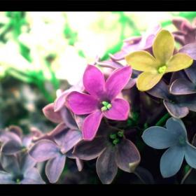 Цветчетата