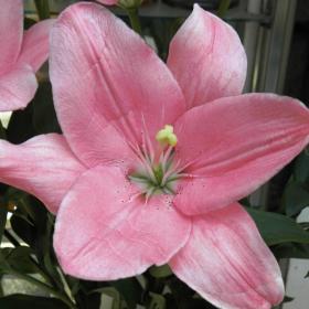 Голям розов цвят от Лилиум.