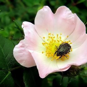 Бръмбарче :)