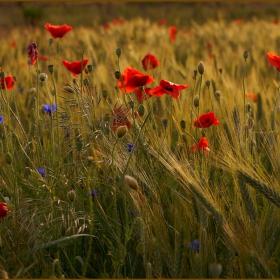 Приказка за полята,маковете и любовта...
