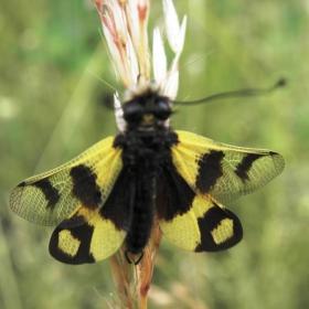 Насекомо от разред Мрежокрили-хищник,лети през юли и август.