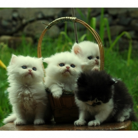 Чистокръвни Персийски котета с родословие