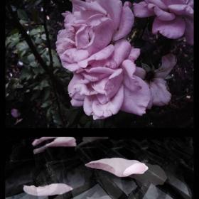 В пепел от рози ти ме превръщаш,В пепел от рози щом ме докоснеш!
