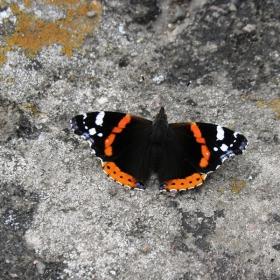Пеперуда -Адмирал-Pyrameis atalanta,среща се често в цялата страна.