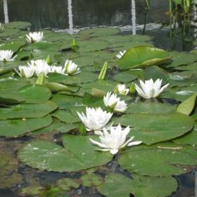 бели лилии