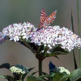 Пеперудка около с. Нисово.