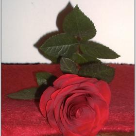 ~роза~