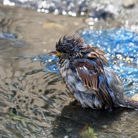 Къпан врабец