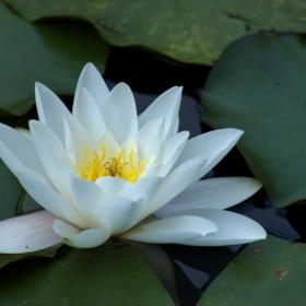 Водна лилия в Борисовата градина 2