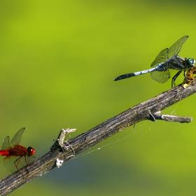 Синия пак налапа пеперудка ....Есенно червениче  Sympetrum vulgatum - Linnaeus 1758 и Бяловърхо синилниче Orthetrum albistylum - Selys 1848