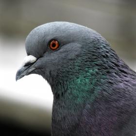 Глава на домашен гълъб