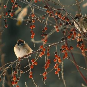 Врабчета през зимата