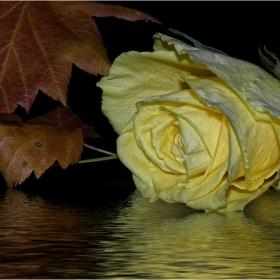 Сълзите на розата  ...