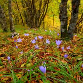 Есенни минзухари ...