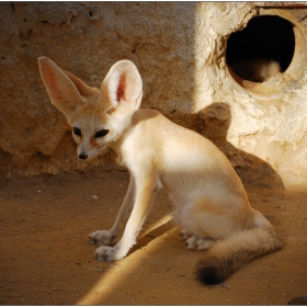 Един от обитателите на Сахара
