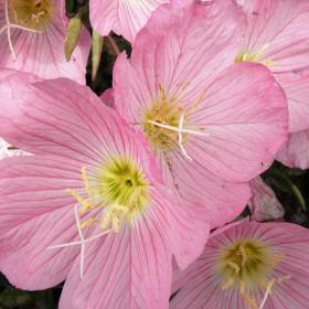 Красиво розово бордюрно цвете цъвтящо от началото на месец Май.