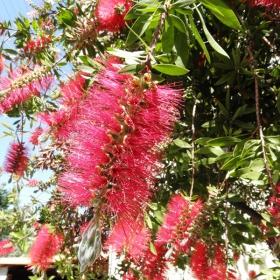 Красиви и странни цветове на медитерански храст.