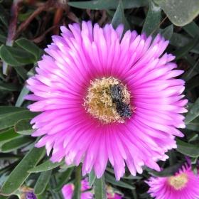 Цвят от пълзящо сридиземноморско цвете с два бръмбъра в средата,които се хранят с тичинките.