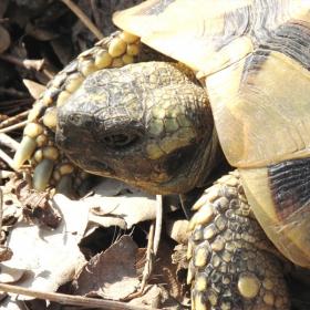 Сухоземна костенурка на път.