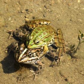 Размножителния период на голямата зелена водна жаба.