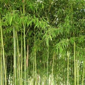 Малка бамбукова горичка в местността Рупите .