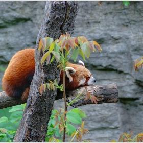 Червена панда - Ailurus fulgens