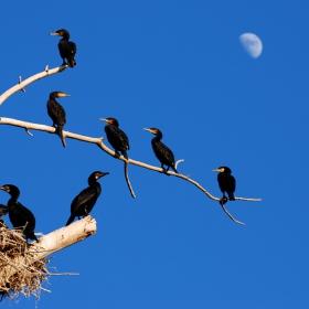 Дървото на кормораните