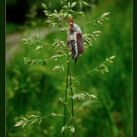 Летящо бръмбарче