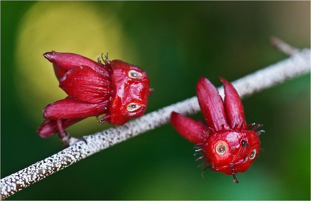 Тропическа градина -Мадейра:Ocha cerrulata multiflora ochnaceae-Africa