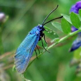 фея в синьо