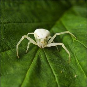 Флориколен крабов паяк...