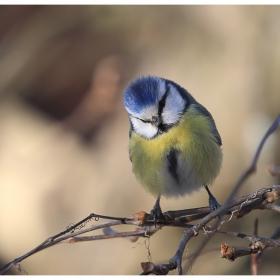 Син синигер (Parus caeruleus)