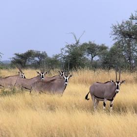 Източноафрикански орикс (Oryx gazella), Етиопия, 2011