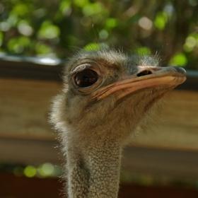 Поздрави на всички съфорумци от този симпатичен африкански острич (вид щраус) :-)