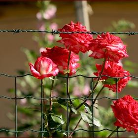 В двора на комшиите....нежна революция....