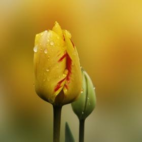Жълто лале