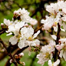 пролет и за бадема