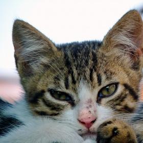 Селска котка