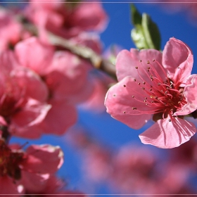 Пак ухае на цвят,пак на пролет ухае