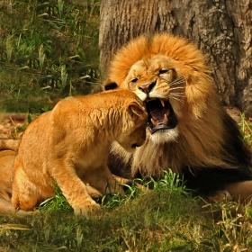 Симба и Царят Лъв - Епизод 3: Домашни разправии