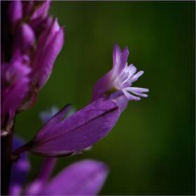 Орхидеите на Странджа