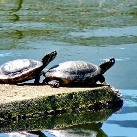 Синхронно костенурково