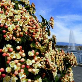 розова Женева