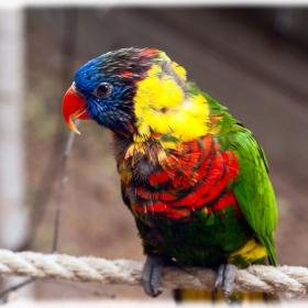 Rainbow Lorikeet - малайско папагалче