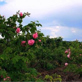 Вземи във този хубав ден, една българска роза от мен...!