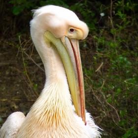 Mr.Pelican