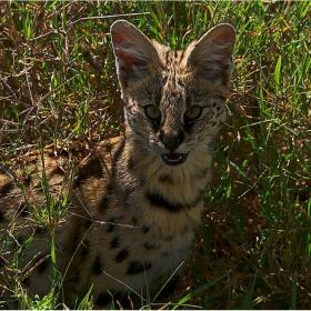 ДИВОТО ЗОВЕЕЕ..., живота  сред  лъвовете не е лесен  Leptailurus serval hindei