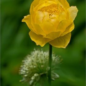 Цветята на Витоша - Планински божур/Витошко лале