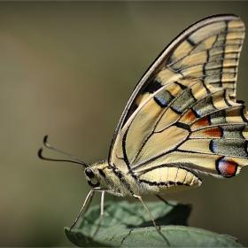 Papilio machaon-Голям полумесец